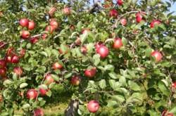 肥料も農薬も使わない–青森の農家で生まれた「奇跡のリンゴ」の話