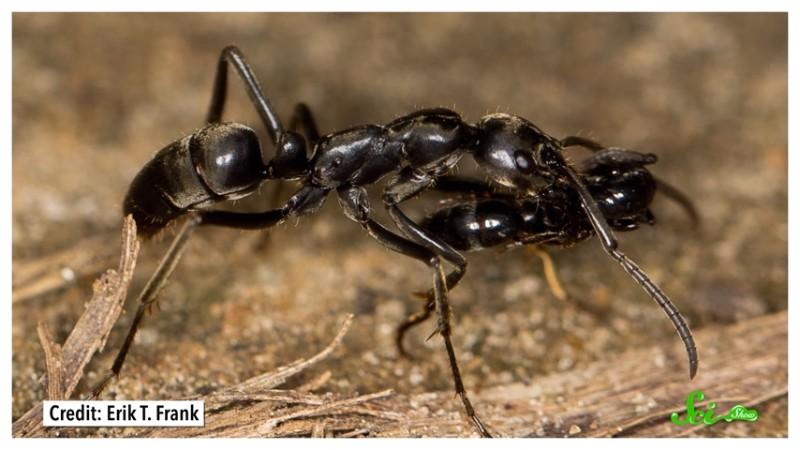 アリたちは仲間の重傷をどうやって治すのか