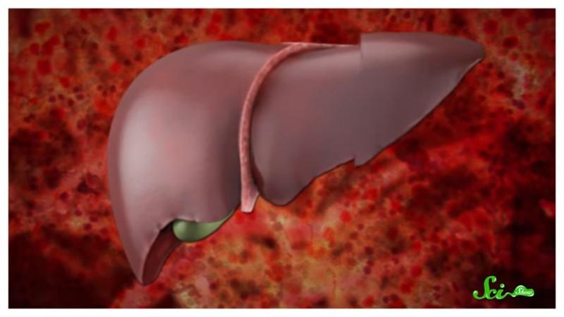 肝臓の再生にまつわる真実 移植を何度も繰り返すことは可能か?