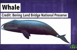 なぜ海洋哺乳類はあんなに大きいのか? 浮力のせいだけではない、巨大化の理由