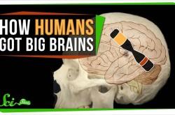 ヒトの脳はなぜ、ゴリラやチンパンジーよりも大きくなったのか?