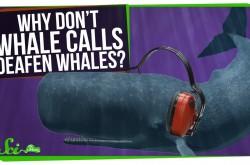 800キロ離れていてもコミュニケーション可能 クジラたちの聴覚の謎